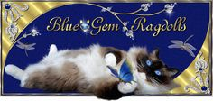 Ragdoll kitten for sale Ohio - Offering Ragdoll cats and kittens for show and loving pets in Cincinnati, Ohio. Ragdoll Kittens For Sale, Munchkin Kitten, Kitten For Sale, Cats And Kittens, Cats 101, Kitty Cats, Teacup Persian Cats, Ragdoll Cat Breeders, Cat Whisperer