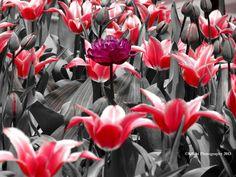 Tulips, pink purple grey, Missouri Botanical Garden Purple Grey, Gray, Grey Pictures, Missouri Botanical Garden, Colour Splash, Shades Of Grey, Tulips, Bloom, Black And White