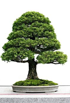 Bonsai is the miniature form of a fully grown tree grown in a small pot. Here is some basic idea about bonsai plants. How to make a Bonsai tree and giving care Bonsai Tree Types, Bonsai Plants, Bonsai Garden, Hinoki Cypress, Bonsai Styles, Indoor Plants, Indoor Outdoor, Indoor Bonsai, Gardens