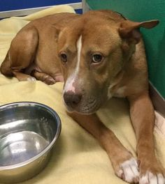 Millie - URGENT - GEORGIA S.P.C.A. in Suwanee, GA - ADOPT OR FOSTER - Adult Spayed Female Terrier Mix