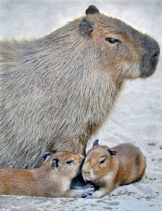 Two four-day-old Capybaras stay close to mom at the San Diego Zoo. They're the largest rodents in the world (once they grow up, that is).