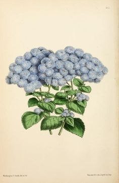 8, 1869 - The Floral magazine; - Biodiversity Heritage Library | hydrangea