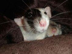 Black and white dumbo rat  Ratemporium.com
