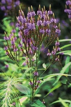 Blue Vervain - Verbena hastata - these grow along the storm runoff creek in our neighborhood, love them