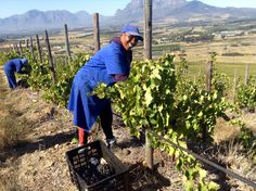 Vineyard worker Lesline Cupido picking Grenache grapes South Africa, Vineyard, Mountains, Places, Happy, Nature, People, Travel, Outdoor