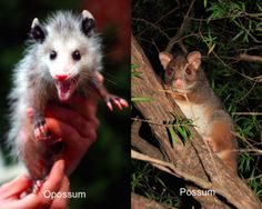 What's the difference between possums and opossums