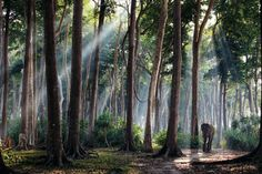India  Fotografia di SJody MacDonald    All'alba, gli alberi della foresta pluviale dell'Isola di Havelock torreggiano su un visitatore mattiniero. Rajan, un elefante asiatico un tempo utilizzato per trasportare tronchi, oggi trascorre le giornate tra passeggiate e tuffi nel mare delle Andamane.