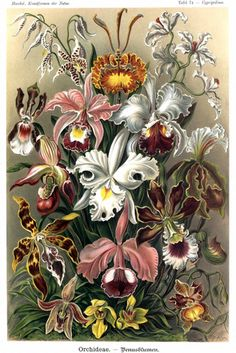Orchideae, by Ernst Haeckel More