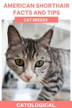 The American Shorthair is a popular feline breed, and for good reason. These kitties are not only playful, yet calm, but they are also great for big families with children. All the facts you need for your favorite cat! #CatBreeds #CatFacts #AmericanShortHairCats #CatTips American Shorthair Cat, Cat Facts, Big Family, Cat Breeds, Cats And Kittens, Cat Lovers, Families, Adoption, Calm