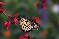 Help save the Monarch!