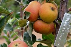 COX'S ORANGE PIPPIN England 1830 (seed of Ribston Pippin)  Bloom: Midseason USDA Zone: 4,5,6,7,8,9,10  Pollination: Select another midseason bloom apple variety Fruit Storage: Fair Mature Size: 12-15 ft. summer prune to maintain 8 ft. tree Recommended Spacing: 12-15 ft. if summer pruned 8 ft.spacing Ripens: Midseason  Uses: Cider,Fresh eating/ dessert  Rootstock: Semi-dwarf MM 111  Water Requirement: 8-15 gallons per week May through Sept. Years to bear: 2-4 years
