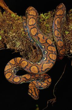 Rainbow Boa . Amazon Rainforest