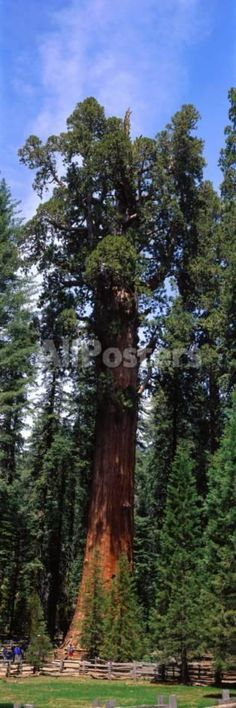 Giant Sequoia and General Sherman Tree, World's Largest Living Thing, Grow Next to Pole Fence by Jon Arnold Landscapes Photographic Print - 30 x 91 cm