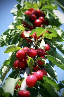 The Coral Champagne Cherry Tree is another relatively new and outstanding sweet cherry for milder Winter areas of the South. It has very large, red, super sweet fruit that some say is superior to Bing. The flesh is firm but juicy and has a pretty coral pink color. It's perfect for kids to pick fruit from because the tree typically grows smaller and more compact than most other varieties. Coral Champagne requires only 400 chilling hours to product an abundant crop of luscious, sweet cherries. Gro