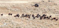 Return To Freedom – Cedar Mountain: 116 Utah wild horses captured, Feb. 15, 2017