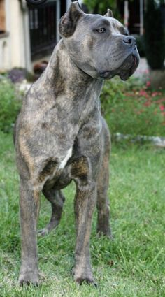 Beautiful Cane Corso :)