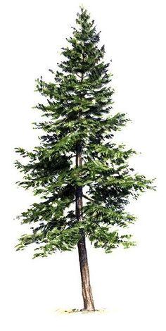 Pine Tattoo, Pine Tree Tattoo, Maple Tree Tattoos, Evergreen Tree Tattoo, Evergreen Trees, Pine Trees Forest, Cedar Trees, Kiefer Tattoo, Pine Tree Painting