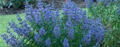 Caryopteris Beyond Midnight Tolerates dry conditions. Not true from seed, to propagate use rooting strategies. Container Gardening, Gardening Tips, Shrubs For Sale, Dark Blue Flowers, Small Backyard Landscaping, Trees To Plant, Garden Design, Seeds, Bloom