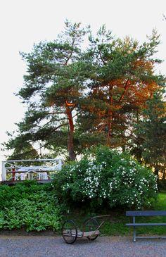 Oma piha kesäyössä, juhannusruuu, maitokärryt. Summernight in the garden, midsummer rose.