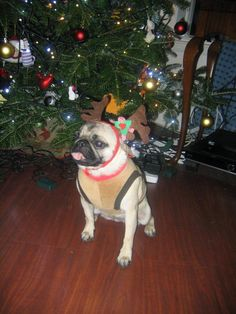Lola, my friend's pug ...  Entry to Leith Library #festivefurballs from @Anabel Marsh