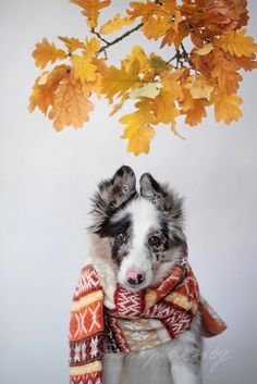 """Autumn Border Collie Floey by Martyna Ożóg """" """" Animals And Pets, Cute Animals, Smartest Dogs, Dog Breath, Horse Wallpaper, Puppy Breeds, Mellow Yellow, Australian Shepherd, Dog Pictures"""