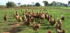 Our Top 6 Chicken Raising Mistakes:  Raising chickens is pretty simple. But we found ways to get it wrong…