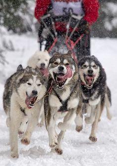 sibirian huskies