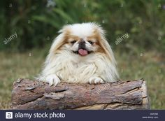 Download this stock image: dog Japanese Chin / Japanese spaniel  adult  ( white and sable ) lying on a tree - DNT295 from Alamy's library of millions of high resolution stock photos, illustrations and vectors.