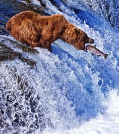 Grizzly bears feed on fish such as salmon, trout, and bass. Bears with access to a more protein-enriched diet in coastal areas can grow larger than inland individuals, due to the richness of their diets. Inland grizzly bears' diet consists mostly of whitebark pine nuts, tubers, grasses, rodents, army cutworm moths and scavenged carcasses. None of these match the fat content of the salmon available to grizzly bears in Alaska and British Columbia.