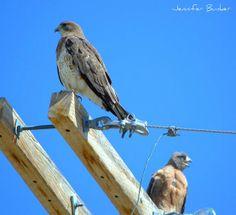 Swainson Hawk pair who nest in the same place every year. USFWS Bear River Migratory Bird Refuge, Utah. Photo: Jennifer Bunker