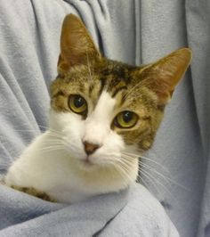 C55491 How's it goin'? My name is Luie and I'm a neutered male, DSH. I'm a sweet cat who likes to lounge around almost as much as I like to run around! I know I would make great company so I've been really hoping someone as kindhearted as you would swing on by to meet me! It's cool hanging out with all the other kitties, but I would really love a place to call my own.