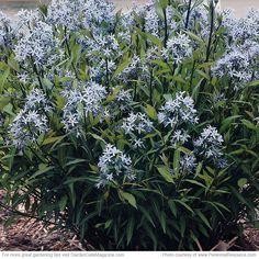 New Perennials 2017: 'Storm Cloud' amsonia (Amsonia tabernaemontana) | Garden Gate eNotes