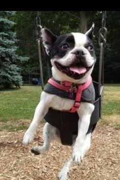 Smiling Bostie on a swing.
