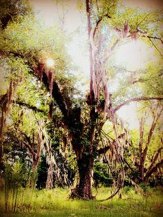 Tree in Savannah, Georgia