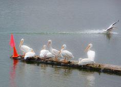 Immature White Pelicans, Upper Klamath Lake