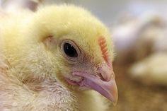 kylling i kyllingoppdrett