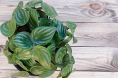 The 11 Best Plants To Grow In Your Terrarium - Simplemost Leafy Plants, Large Plants, Cool Plants, Indoor Plants, Inside Plants, Room With Plants, Begonia, Peperomia Plant, Corner Plant