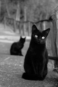 Beautiful black cats