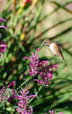 Customer Pam Koch Rufous Hummingbird, Agastache cana AZ