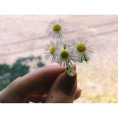 wild chamomile.