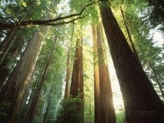 Redwood Forest Fotoprint van Jim Zuckerman - bij AllPosters.be