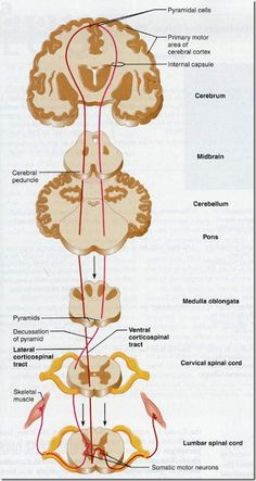 Ascending and descending tracts of spinal cord (Here's something we didn't spend a lot of time on. Brain Anatomy, Medical Anatomy, Anatomy And Physiology, Nervous System Anatomy, Cerebral Cortex, Spinal Cord Injury, Spinal Cord Anatomy, Craniosacral Therapy, Physical Therapy
