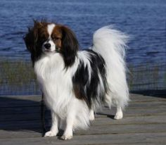 """My Addes biggest competition, Kimberbells Prince of Northern Star """"Sigge"""". He is a really beautiful boy!"""