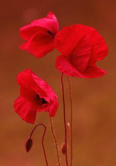 Flamenco...: Red flowers - Photo by Photographer Mycatherina Katka