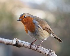 The European robin (Erithacus rubecula), most commonly known in Anglophone Europe simply as the robin, is a small insectivorous passerine bird, specifically a chat, that was formerly classed as a member of the thrush family (Turdidae), but is now considered to be an Old World flycatcher.