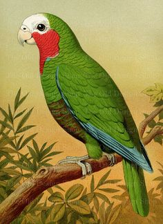 Vintage Bird Art Green Red Parrot Printable by TheOldDesignShop Vintage Birds, Vintage Images, Wallpaper Nature Flowers, Bird Doodle, Ariana Grande Drawings, Tropical Birds, Bird Illustration, Bird Drawings, Bird Pictures