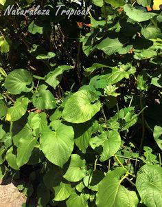El Caisimón de Anís o Hierba Santa, Piper auritum