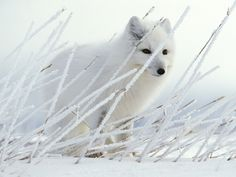 Arctic foxes have the largest litter size of any fox - normally 6 to 12 young, sometimes as many as 20.
