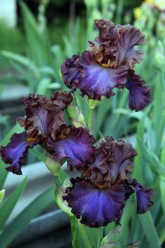 ~WENCH~Spectacular tall bearded iris rhizome rhizomes
