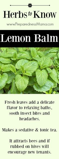 Herbs to Know Lemon Balm Another tasty member of the mint family PreparednessMama Lemon Balm Ultimate Guide Uses for body home and for food by Scratch Mommy This Pin wa. Healing Herbs, Medicinal Plants, Natural Healing, Wound Healing, Au Natural, Natural Herbs, Herbal Remedies, Home Remedies, Natural Remedies